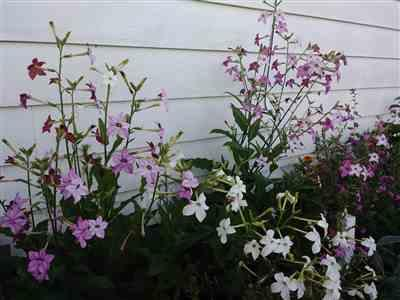 Karen verified customer review of Nicotiana - Sensation Mix