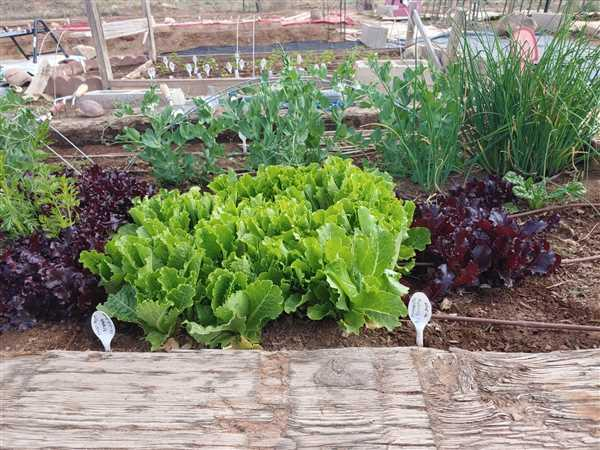 Pinetree Garden Seeds Crisp Mint Lettuce (60 Days) Review