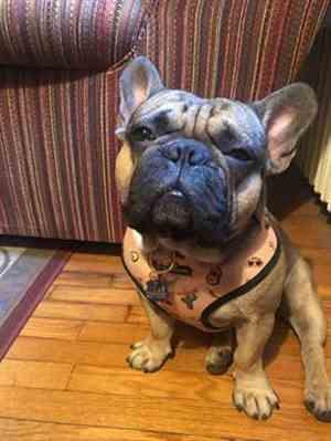 Morgan E. verified customer review of French Bulldog Harness | Versatile Health Harness | Livin' La Vida Frenchie