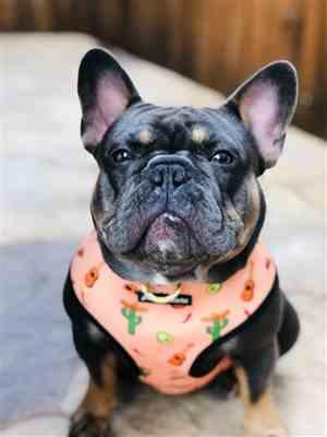 Anonymous verified customer review of French Bulldog Harness | Versatile Health Harness | Livin' La Vida Frenchie