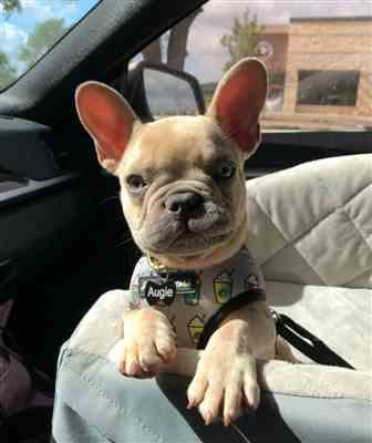 Jennifer T. verified customer review of French Bulldog Harness | Versatile Health Harness | Mint StarPup