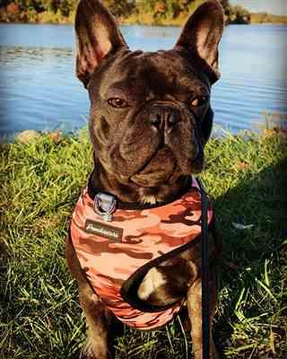 Kris Gibbons verified customer review of French Bulldog Harness | Versatile Health Harness | Ultimate Camo