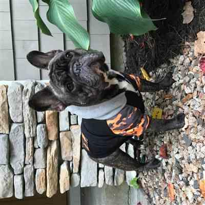 Terri Stevens verified customer review of French Bulldog hoodie | Frenchie Clothing | Mustard Ultimate Camo