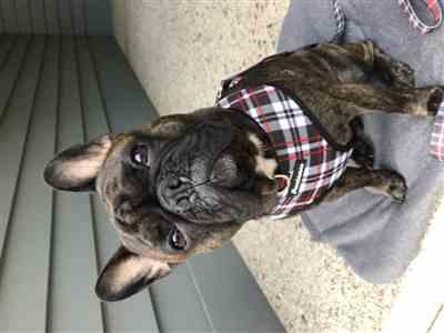 Sheila G. verified customer review of French Bulldog Harness | Versatile Health Harness | Tartan