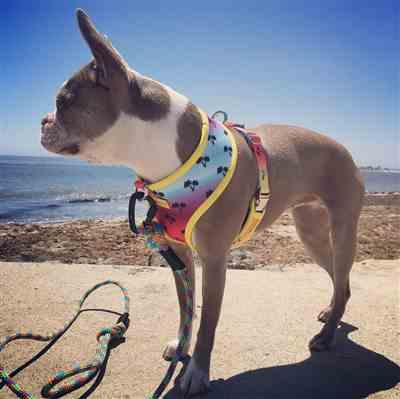 VICTORIA L. verified customer review of Frenchiestore® Versatile Health Harness | California Dreamin'