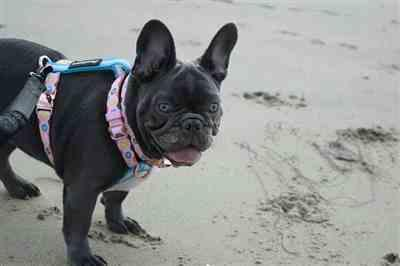 Jennifer M. verified customer review of Frenchiestore Adjustable Health Harness | Pink StarPup