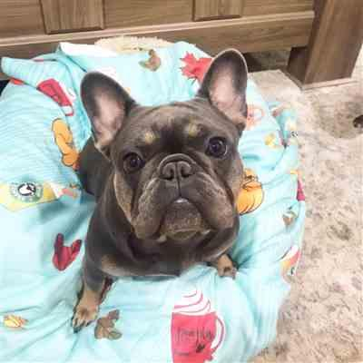 Lauren H. verified customer review of Frenchie Blanket | Frenchiestore | Pumpkin Spice Pupcup