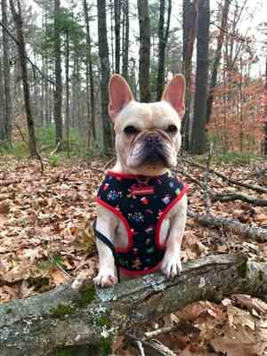 Terri Stevens verified customer review of French Bulldog Harness | Versatile Health Harness | Red Buffalo Plaid