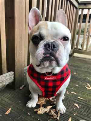 Rachel Oprea verified customer review of French Bulldog Harness | Versatile Health Harness | Red Buffalo Plaid