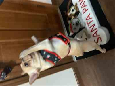 Brittney Hildebrand verified customer review of French Bulldog Harness | Versatile Health Harness | Red Buffalo Plaid