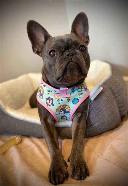 Jamie Moore verified customer review of French Bulldog Harness | Versatile Health Harness | UniPup