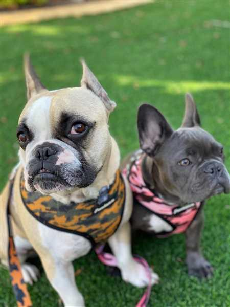 Georgia Triantafyllopoulos verified customer review of French Bulldog Harness | Versatile Health Harness | UniPup