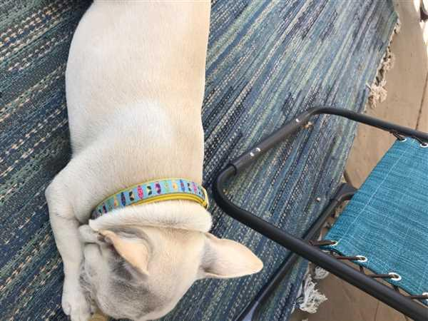 Frenchiestore Frenchiestore Breakaway Dog Collar | California Dreamin' Review