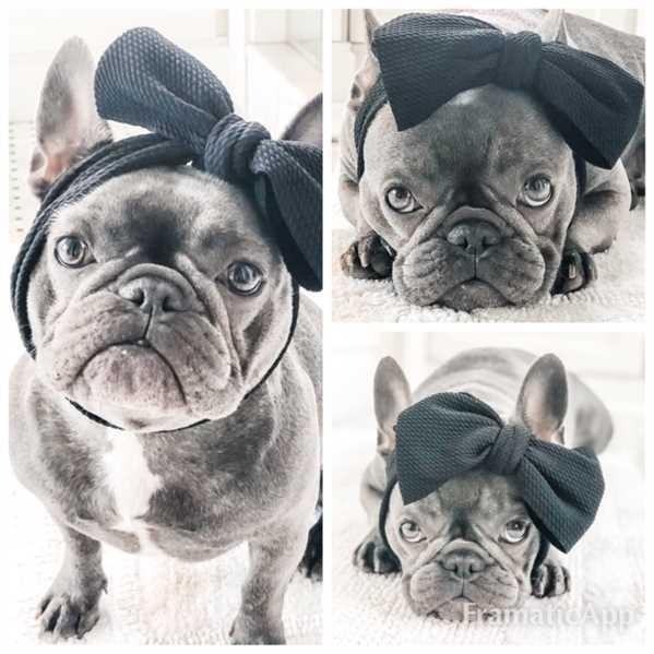 Patricia Weaver verified customer review of Frenchiestore Pet Head Bow | Black