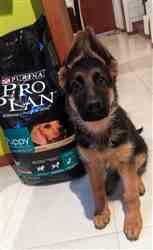 Fomento al Comercio Latinoamericano S.A. de C.V. Pro Plan® Puppy Large Breed Review