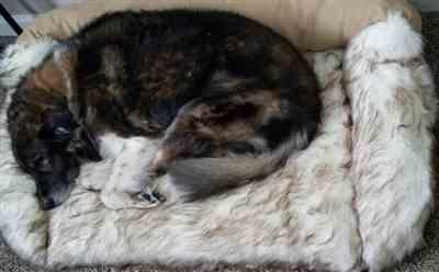 Meg W. verified customer review of Faux Fur Shag Sydney Orthopedic Luxury Dog Bed
