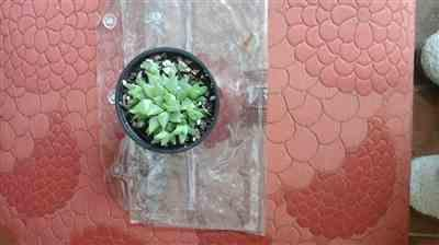 Ruth G. verified customer review of Window Haworthia Succulent