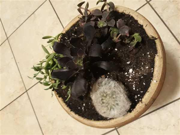 Tanya Romero verified customer review of Calico Kitten Crassula
