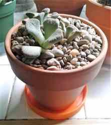 Rene M. verified customer review of Concrete Leaf Titanopsis Calcarea