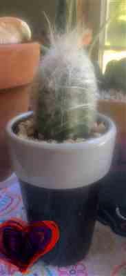 Joyce Brown verified customer review of Peruvian Old Man Cactus