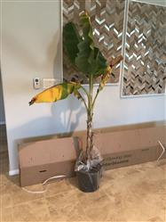 Lydia Stanford verified customer review of Puerto Rican Plantain Banana Tree