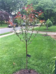 Asa Warrington verified customer review of Profusion Crabapple Tree