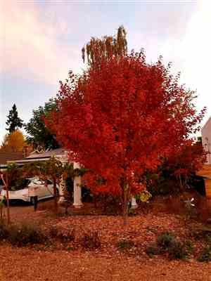 DBF verified customer review of October Glory Red Maple Tree