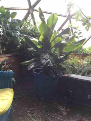 Tom Ann Casey verified customer review of Dwarf Cavendish Banana Tree