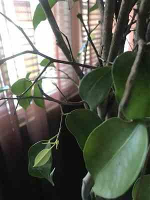 Monica Burney verified customer review of Braided Benjamina Ficus Tree