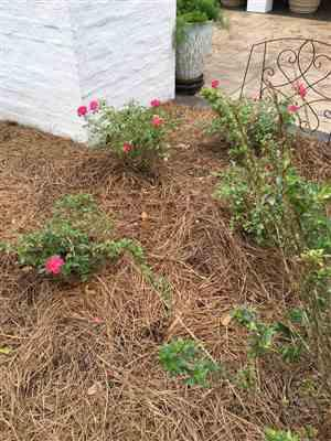 Fast-Growing-Trees.com Sweet Drift® Rose Review