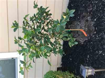 Anonymous verified customer review of Double Blooming Gardenia Tree