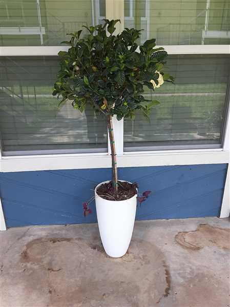 Fast-Growing-Trees.com Double Blooming Gardenia Tree Review