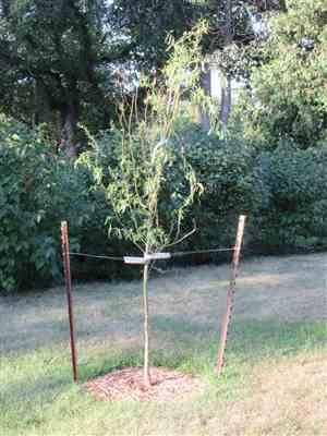 Roger H. verified customer review of Corkscrew Willow Tree