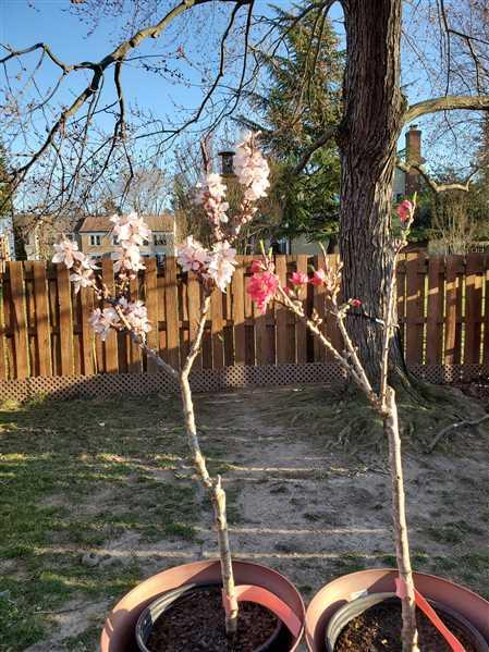 Garrick verified customer review of Bonanza Patio Peach Tree
