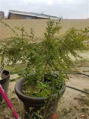 Fast-Growing-Trees.com Australian Finger Lime Tree Review