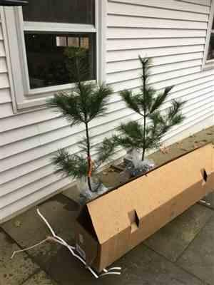 Anonymous verified customer review of Eastern White Pine Tree