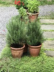 BARBARA TRACY verified customer review of Tuscan Rosemary Plant