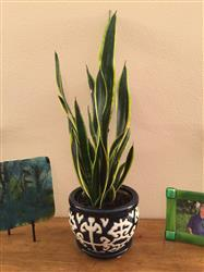 Kathy Murdock verified customer review of Black Gold Snake Plant