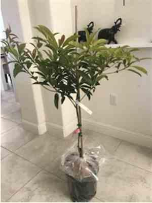 Fast-Growing-Trees.com Sapodilla Tree Review