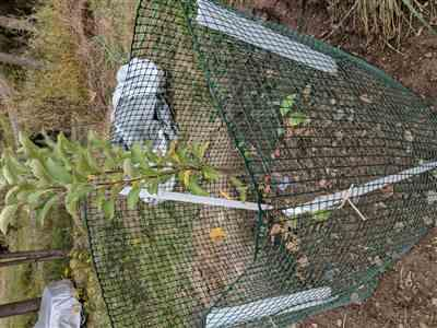 Fast-Growing-Trees.com Honeygold Apple Tree Review