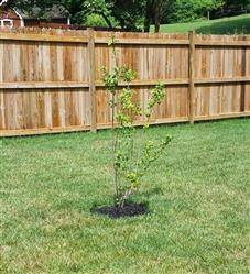 Fast-Growing-Trees.com Flame Amur Maple Review