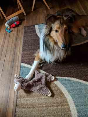 Rachel C. verified customer review of BROWN ALPACA DOG TOY