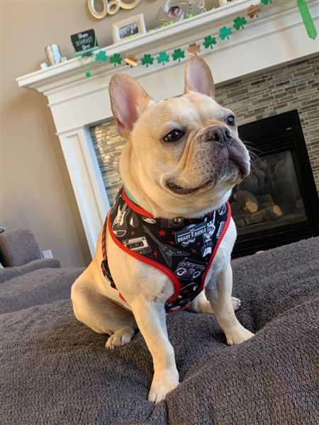 Beast & Buckle Heavy Metal Reversible Dog Harness Review