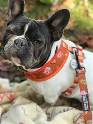 Jeanna Baird verified customer review of Pumpkin Spice Harness and Leash Set