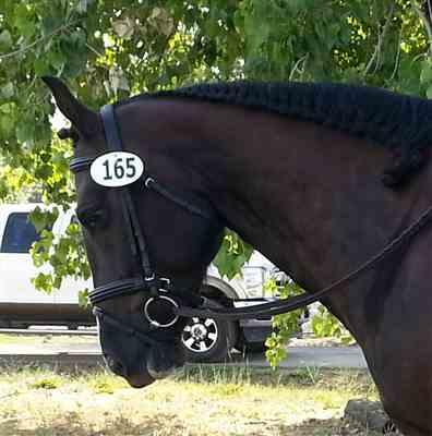 Anonymous verified customer review of Pro Padded Raised Dressage Bridle with Crank Flash Noseband with Web Reins