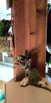 Lorraine Inman verified customer review of Bromeliad Mount