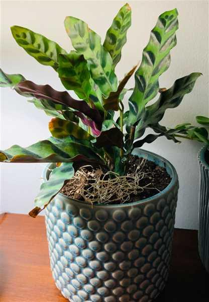 Evelyn Donato verified customer review of Calathea Lancifolia - Rattlesnake Plant