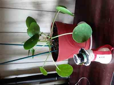 Dawn Dula verified customer review of Pilea peperomioides - Chinese Money Plant