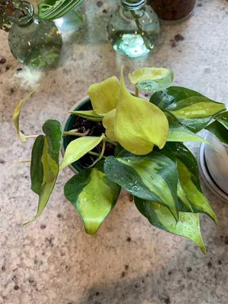 Stephany Robinson verified customer review of Philodendron hederaceum 'Brasil'