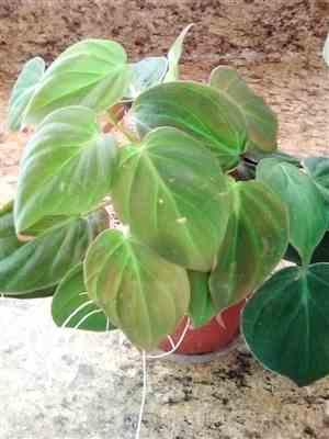 Merrily M. verified customer review of Philodendron micans